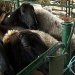 Braća Davidov i advokati i uzgajivači ovaca